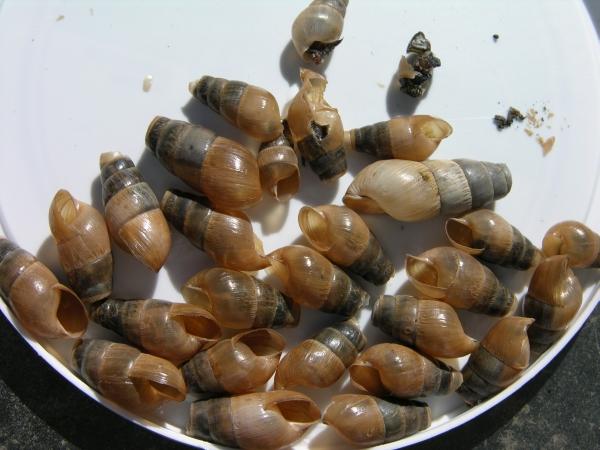 Snail Shells 1