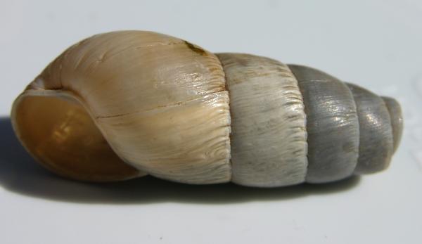 Big Opaque Shell